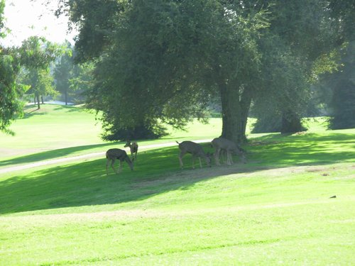 Deer On The Course